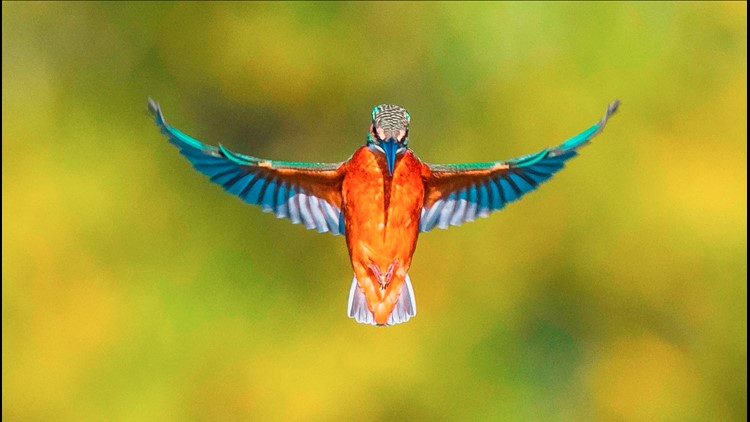 This '1-in-a-million' shot of a kingfisher in flight has people in awe