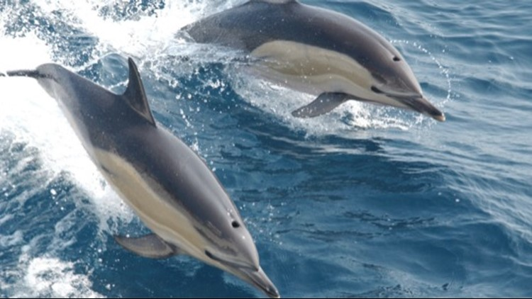 Once in a Lifetime Dolphin 'Stampede' Captured on Film