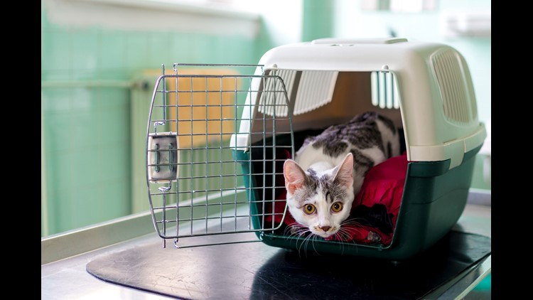 Young Cat Looking From The Pet Carrier At The Vet Ordination