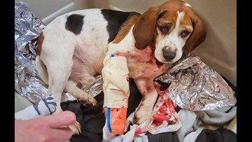 Two beagles recovering after being thrown out moving vehicle on New York interstate
