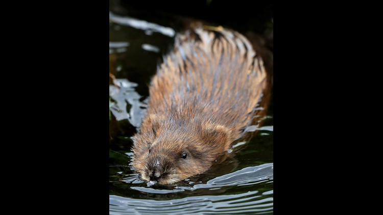 A man was arrested late Monday on an animal cruelty charge in Washington after he allegedly sexually assaulted a beaver in a park, local media reported.