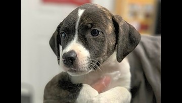 These St. Louis-based puppies are up for adoption and in need of a good home
