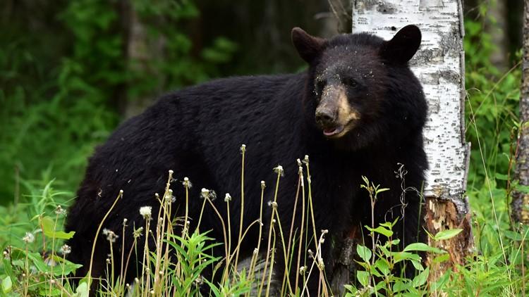 Wildlife officers track gun-toting bear in Minnesota