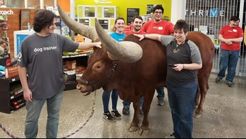 Man brings steer to Texas Petco to prove 'all leashed pets are welcome'