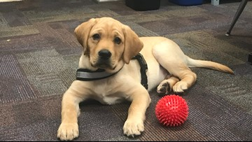 Lab puppy changing the way students learn at Missouri School for the Blind