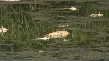 'This type of thing isn't uncommon' | Fish-killing algae strikes Carondelet Park's small pond