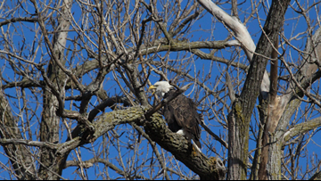 Eagle Days underway at Pere Marquette State Park