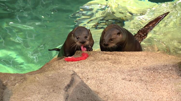 st. louis aquarium otters