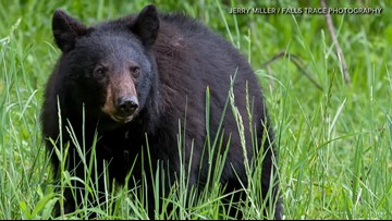 Missouri's rising bear population could lead to a new hunting season