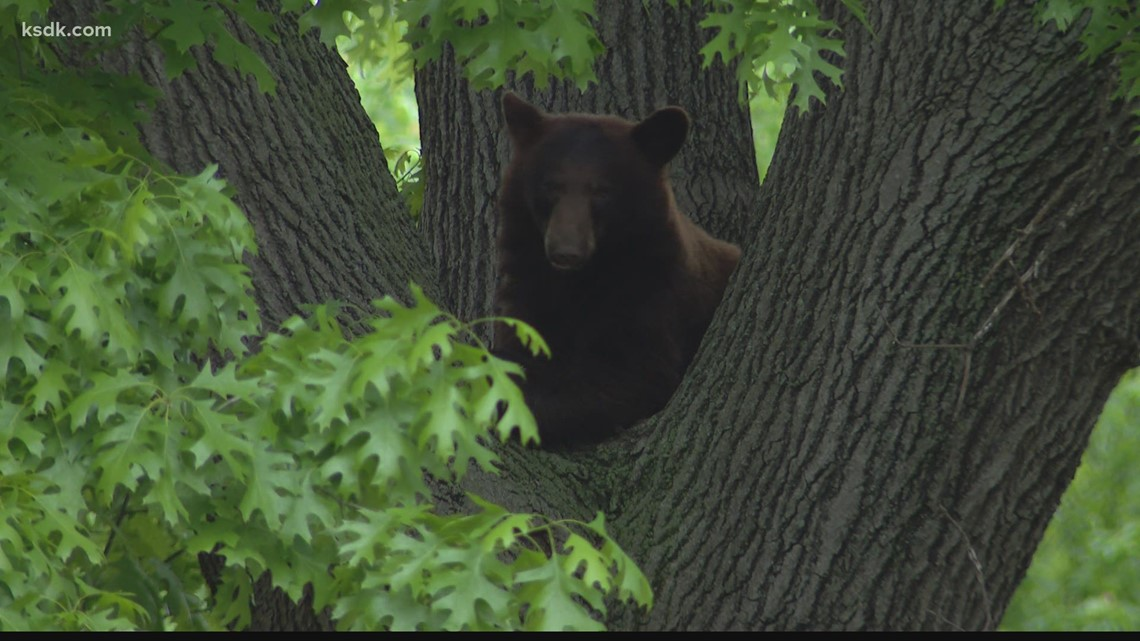 Conservation agents tranquilize black bear in Richmond Heights after weekend of sightings