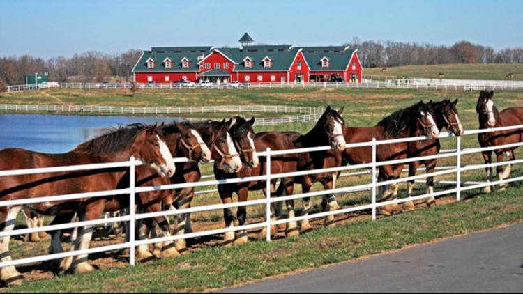 Warm Springs Ranch, breeding home of Budweiser Clydesdales, to reopen for tours