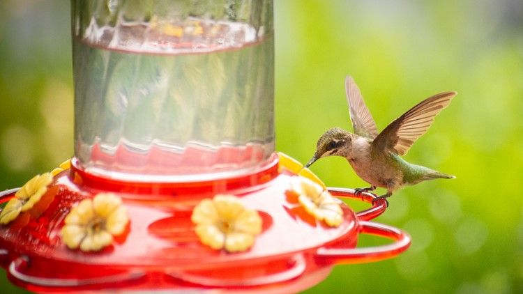 Get your feeders out! How to help hummingbirds as they migrate back for spring