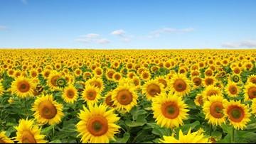Eckert's sunflower maze now open