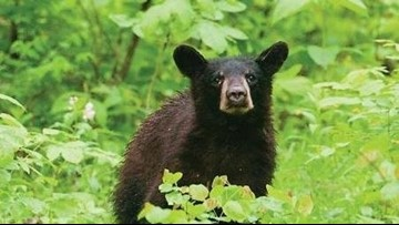 Be bear aware! Missouri's black bears start coming out of their dens
