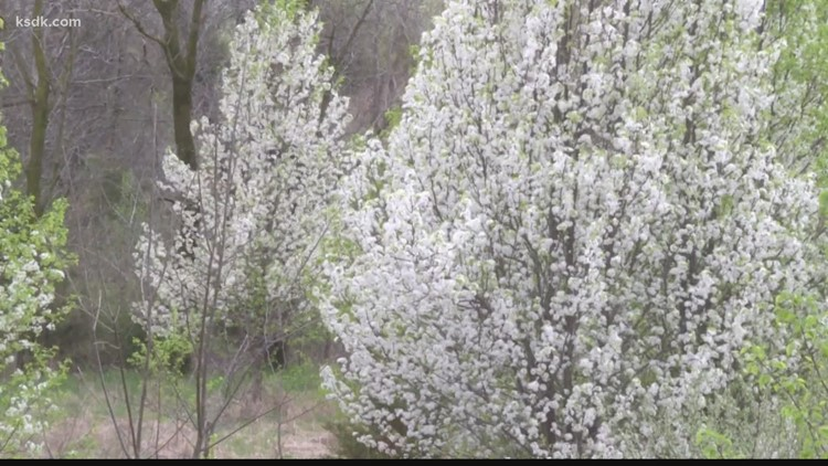 Callery pear trees causing damage to Missouri ecosystem