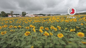 Go inside the Sunflower maze at Eckert's farm in Belleville
