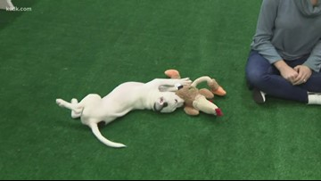 Play with puppies at the St. Louis Auto Show!
