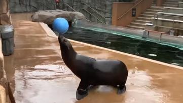 Sea lion practices soccer at Saint Louis Zoo