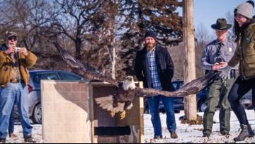 Watch: Missouri Department of Conservation releases 2 rehabbed bald eagles