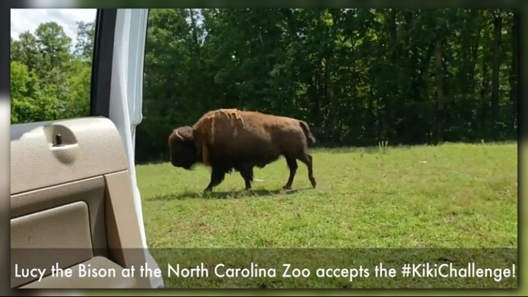 """It almost seems like the song was made just for the bison named """"Lucy"""" who's really got it going on."""