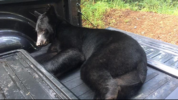 Black bear relocated after being spotted near Ark  campus