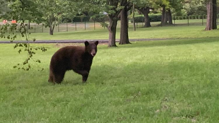 Photos: Bear sightings in the St. Louis area