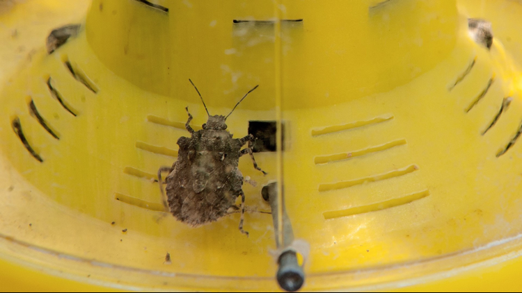 Make sure you resist the temptation to squash the bugs, unless you are curious about why these insects are called stink bugs.