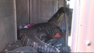 Surprise! Large alligator found in Kansas City hot tub