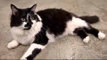 St. Louis cat 'D-O-G' wins 'Cat of the Year Award'