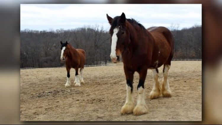 Budweiser Clydesdales to train in Missouri