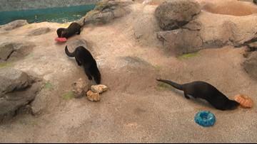 St. Louis Aquarium otters turn 1 year old Monday