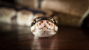 Ballwin resident returns from vacation to a python in their pantry