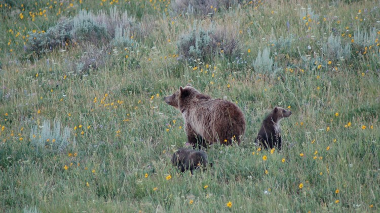 Illinois woman gets jail time for Yellowstone grizzly close encounter