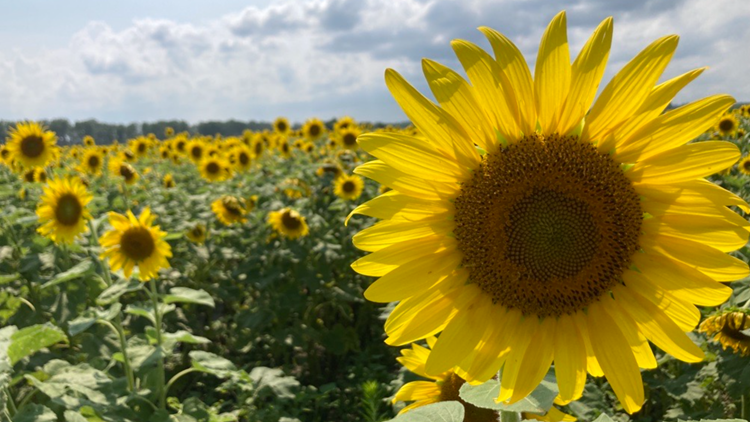 Sunflower field in Spanish Lake is back for 2021