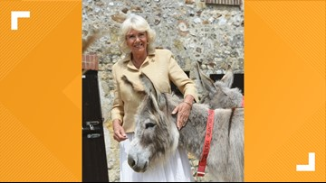 Camilla and donkeys make for a magnificent birthday