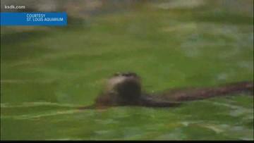 St. Louis Aquarium announces naming contest for new otters