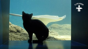 Watch: Kittens pounce and play at the St. Louis Aquarium