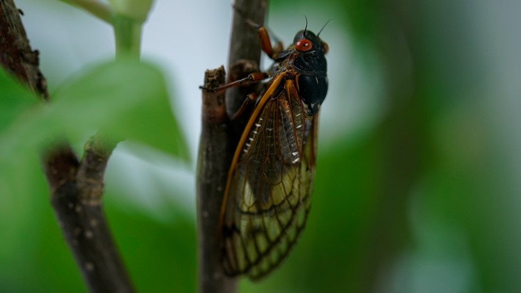 Here's the 2021 cicada outlook for Missouri