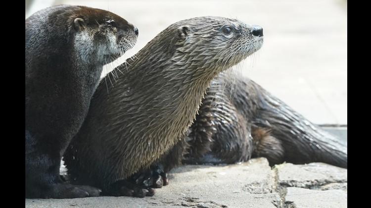 Zoo unveils return of Dinoroarus