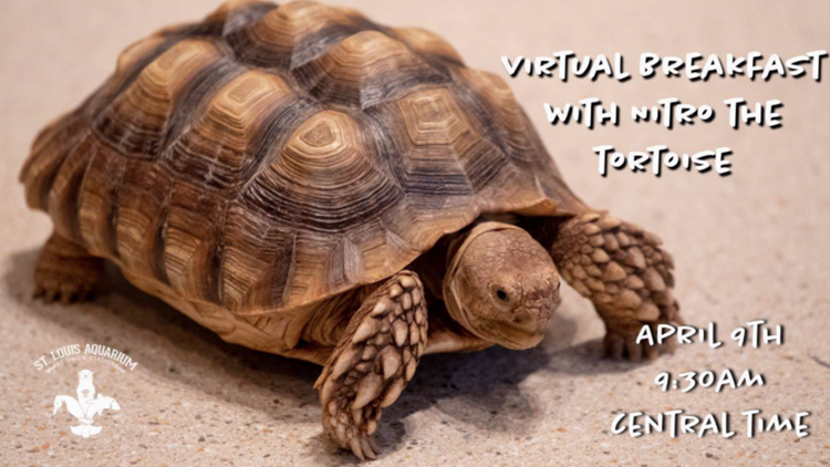 Slow things down over virtual breakfast with the St. Louis Aquarium's Nitro the Tortoise