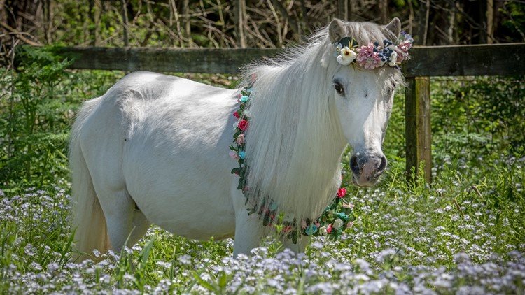 Rescue ranch in Union, Missouri, launches pregnancy cam for expecting mini horse