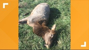 MDC needs information on elk illegally shot in southern Missouri