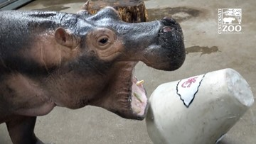 Puking prediction: Fiona the Hippo makes Super Bowl pick