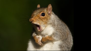 Woman calls 911 after squirrel she tried to save 'freaked out' in her car