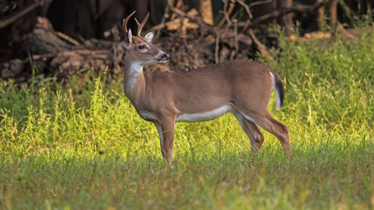 Missouri plans to test deer for COVID-19 this hunting season