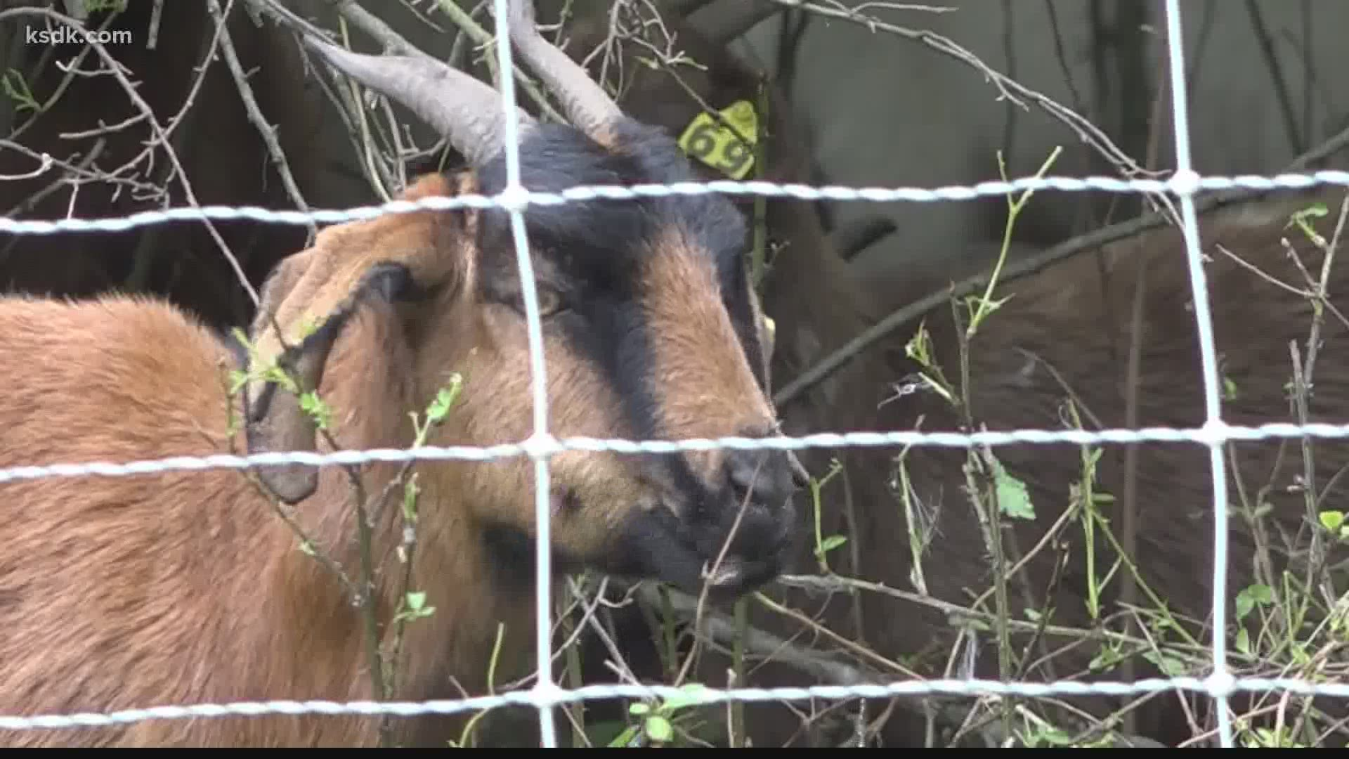 These goats will help with your yard work | ksdk.com