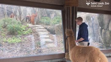 Watch these alpacas take a field trip around the zoo