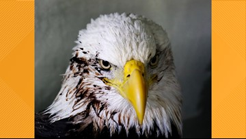 Bald eagle rescued after being hit by car along interstate in Illinois
