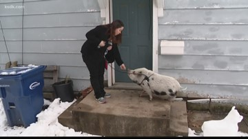 Lemay woman's emotional support pig's supplies stolen