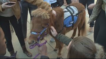 Miniature Horses helping students de-stress before final exams